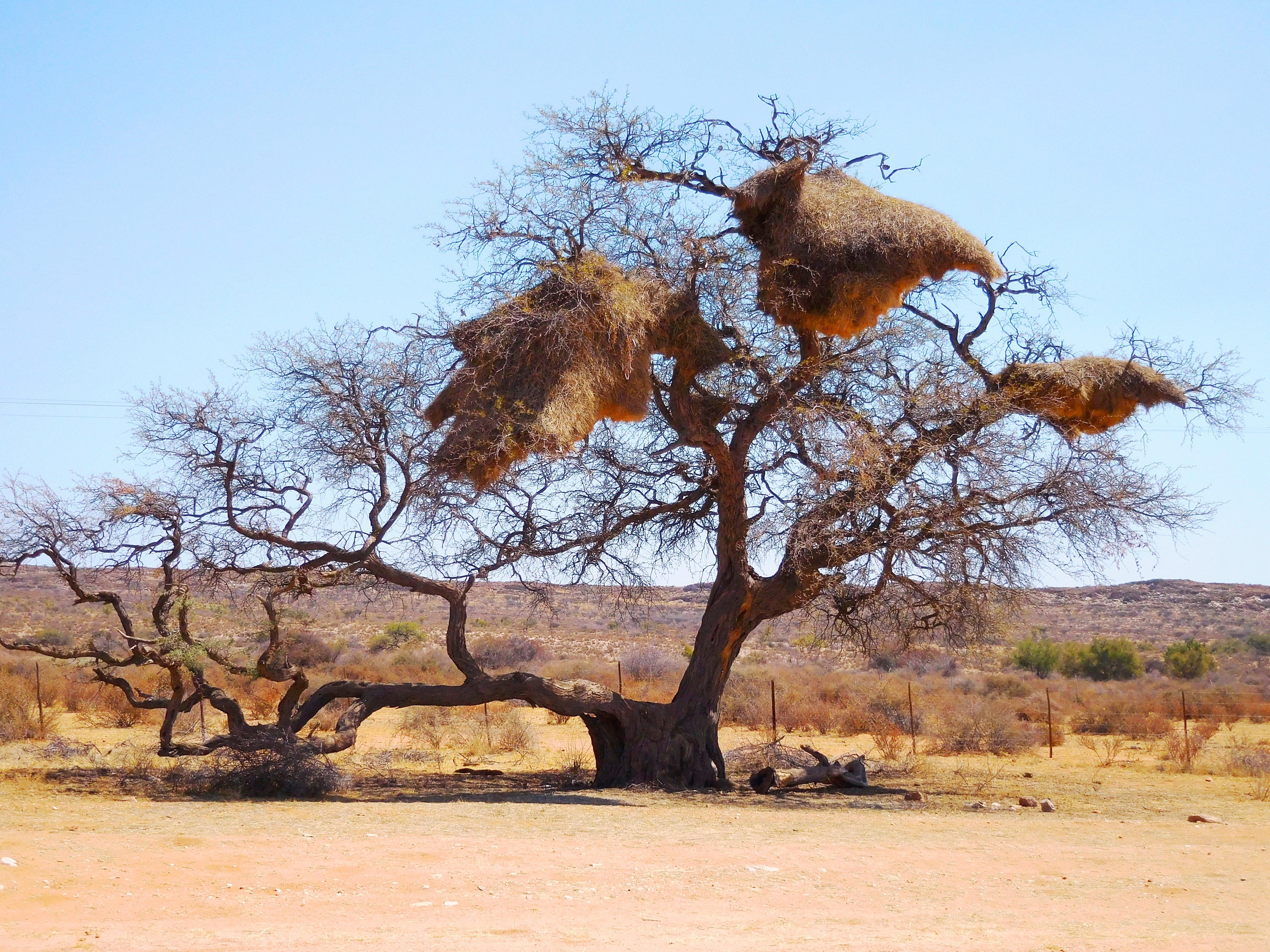 Imposante Weber-Vogel-Nester im Outback Namibias