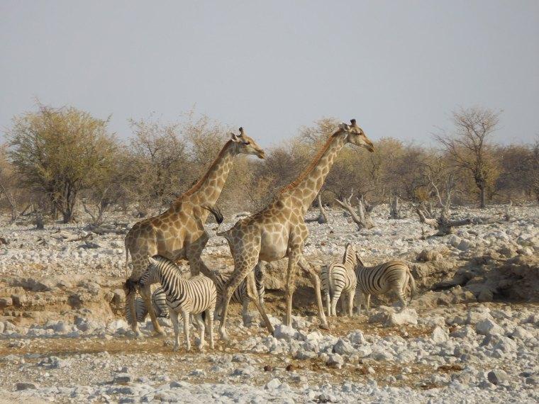 Giraffen und Zebras im Etosha-Nationalpark, Namibia
