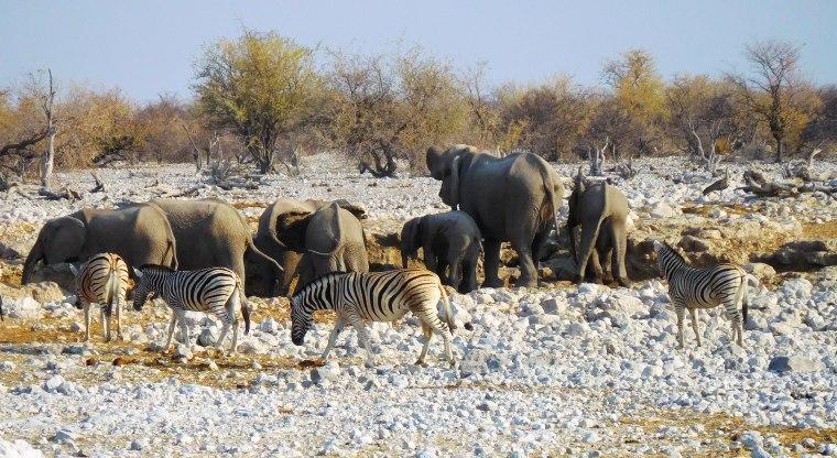 Elefanten und Zebras von hinten