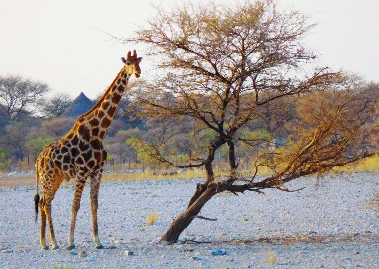 Giraffe steht neben krummen Baum im Etosha-Nationalpark, Namibia