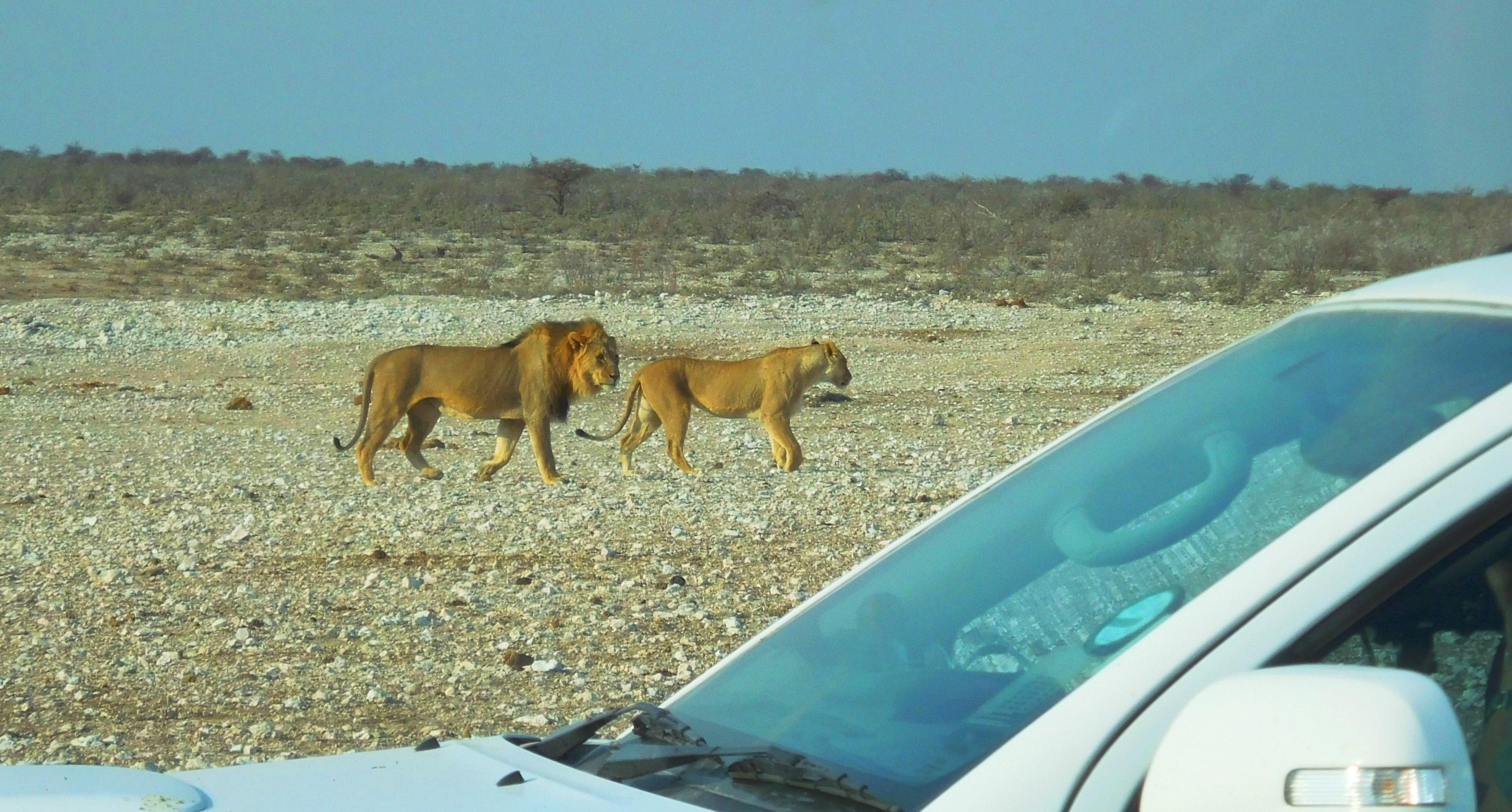 Löwenpaar nur wenige Meter von Auto enfernt im Etosha-Nationalpark