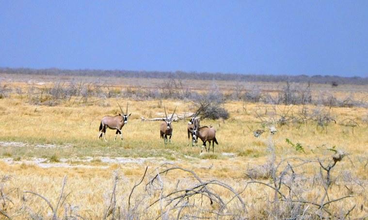 Oryx-Antilopen im Etosha-Nationalpark, Namibia