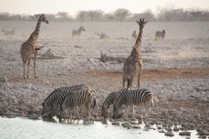 Giraffen und Zebras am Wasserloch im Etosha-Nationalpark