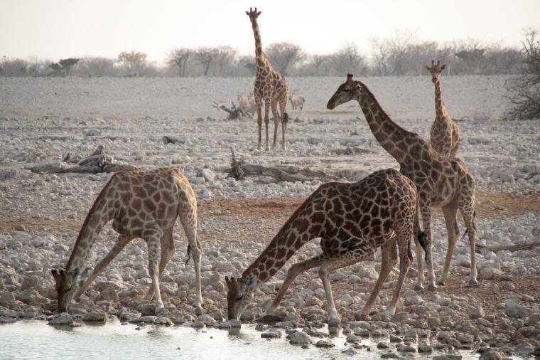 Giraffen am Wasserloch im Etosha-Nationalpark, Namibia