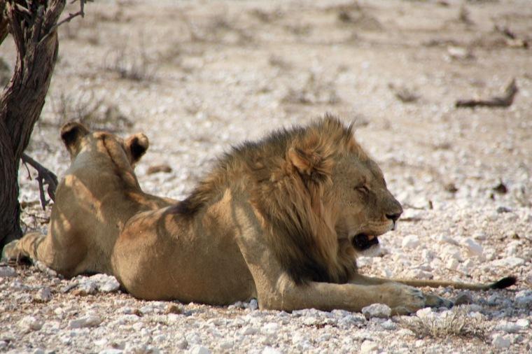 Liegendes Löwenpaar im Etosha Nationalpark, Namibia