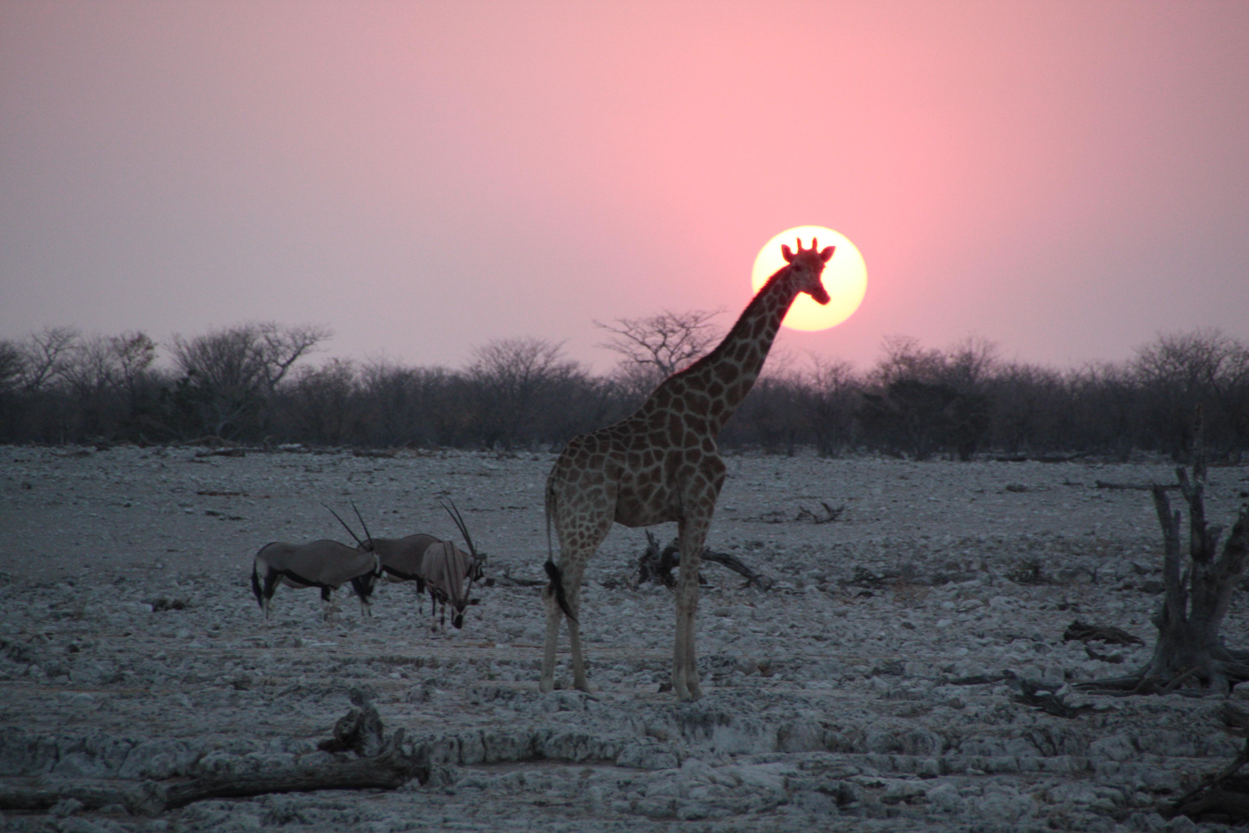 Giraffe und Oryx-Antilopen beim Sonnenuntergang im Etosha-Nationalpark, Namibia