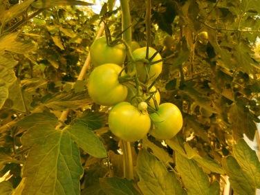 Isländische Tomaten.