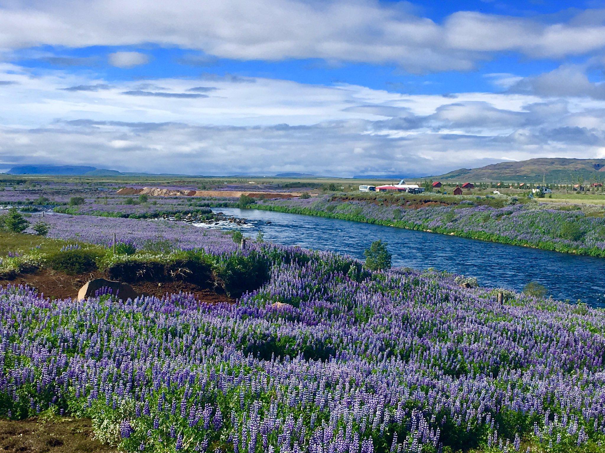 Island: Landschaft dominiert von violetten Blumen