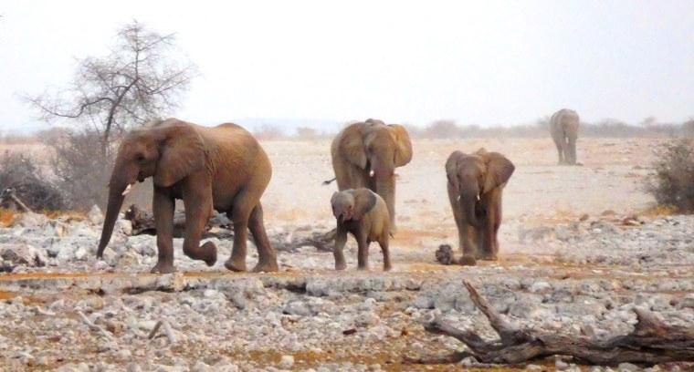 Elefantenherde nähert sich dem Wasserloch im Etosha-Nationalpark