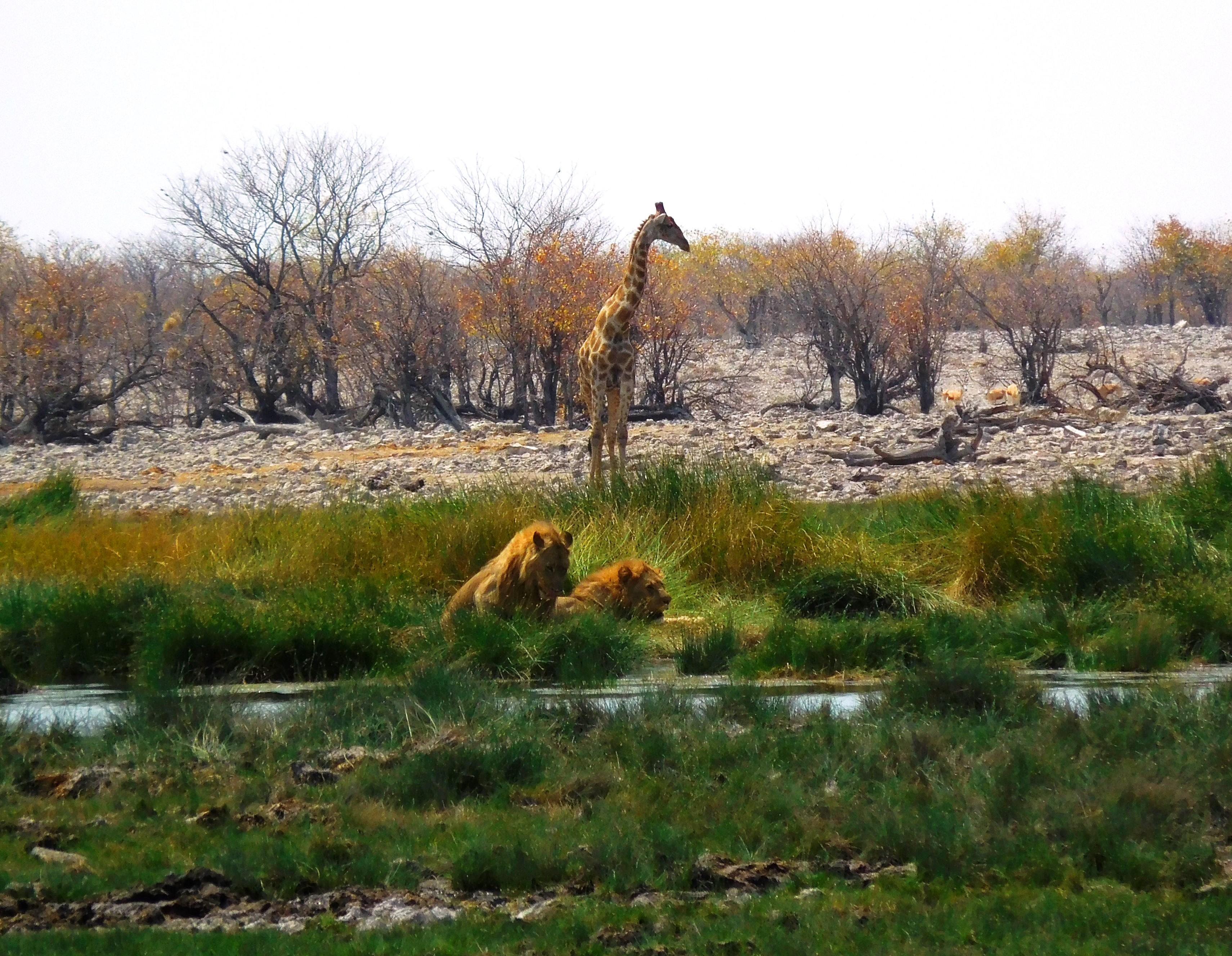 Giraffe und Löwen am Wasserloch im Etosha-Nationalpark