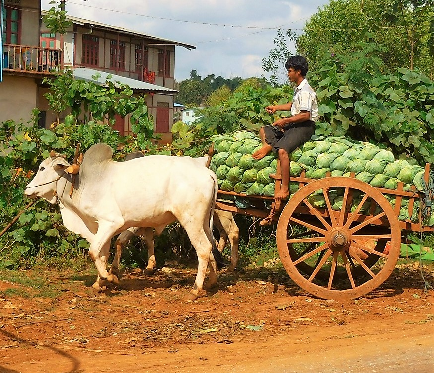 Blumenkohl-Transporter (Ochsenkarren) in Myanmar/Burma