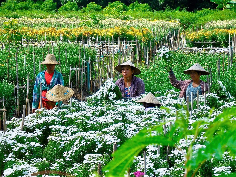 Blumen-Mädchen beim Blumen pflücken in Myanmar/Burma